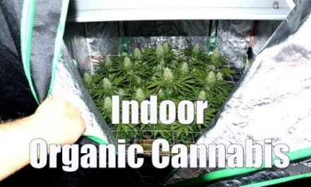 COMPLETE ORGANIC CANNABIS GROW – SEED TO HARVEST
