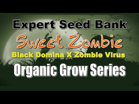 Indoor- Organic Cannabis- Flowering stage