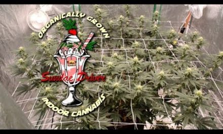 Complete Indoor Organic Sundae Driver Grow-Cannabis