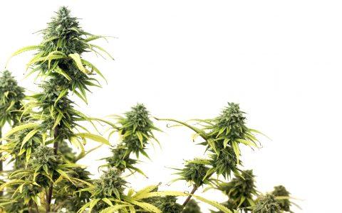 What Is CBDV (Cannabidivarin) & What Does This Cannabinoid Do?