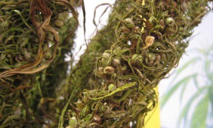 $1 Billion Worth of Cannabis Seized in California Hemp Field Bust